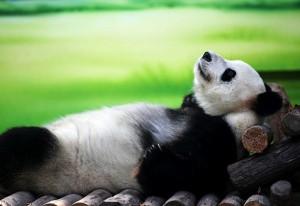 panda-big